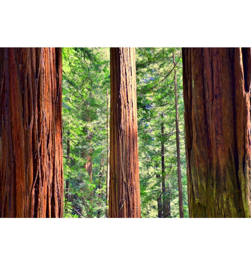 California Redwood Grow Kit