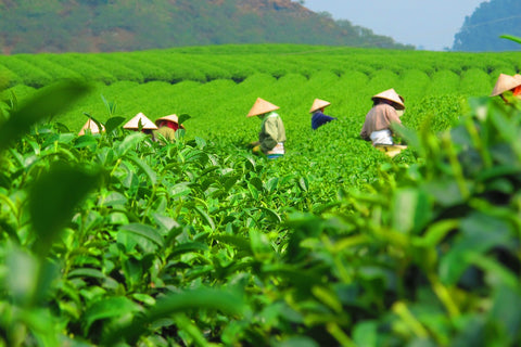 A photo of Japanese farmers harvesting green tea in a large field