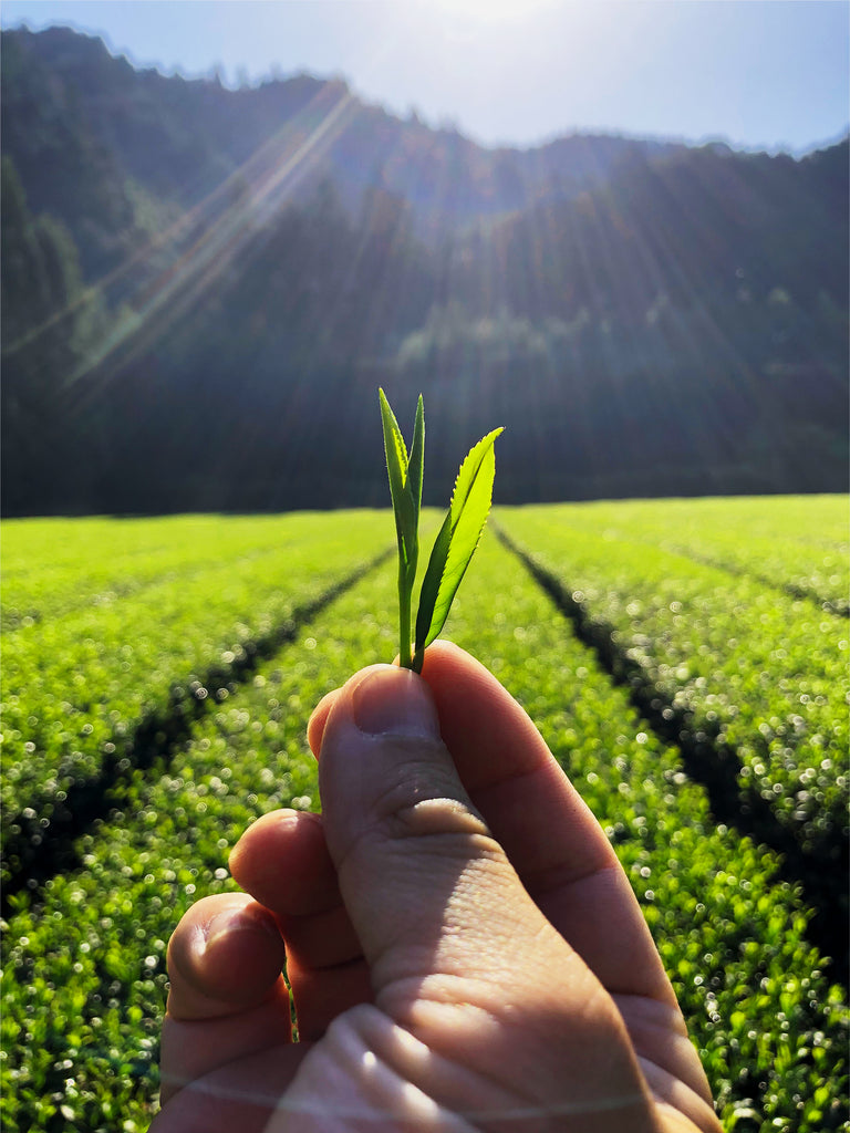 Photo of a hand Holding a Green Tea Leaf in a field