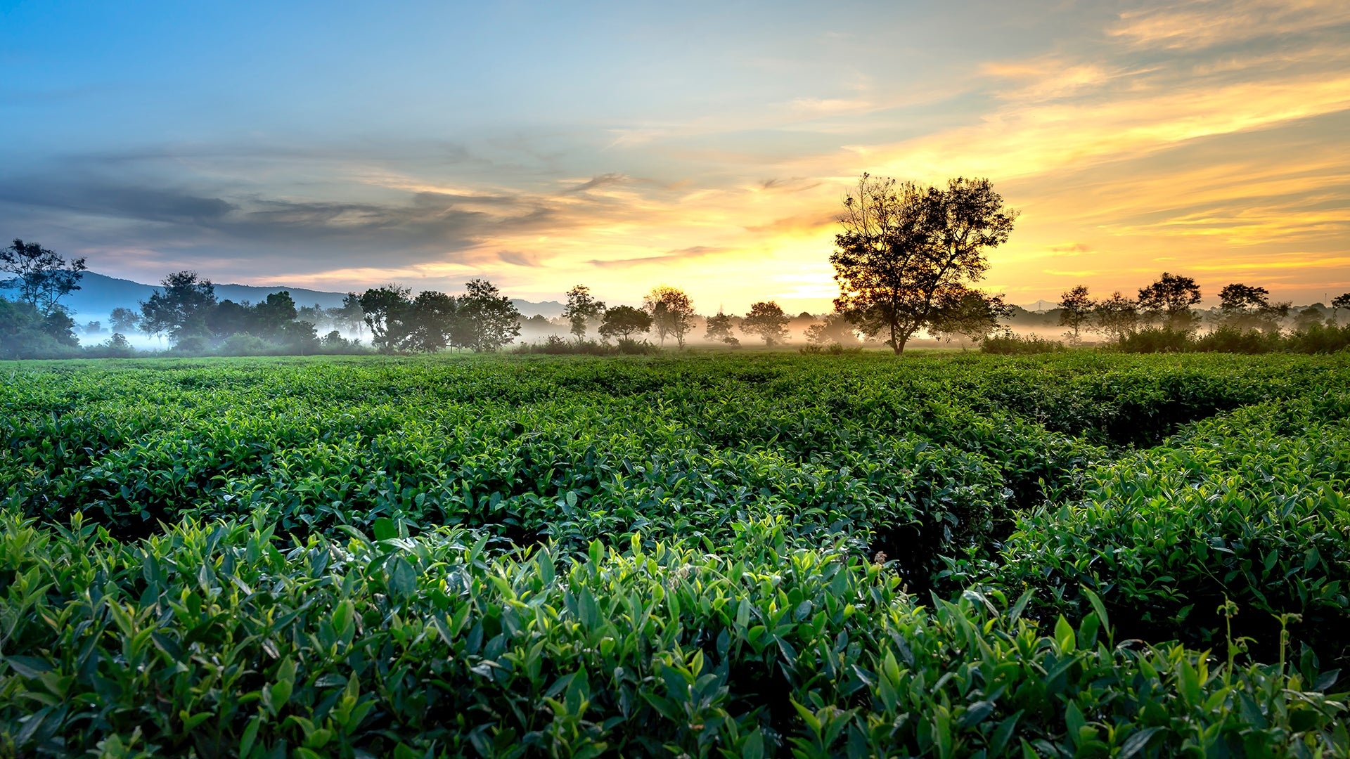 Photo of a Japanese Green Tea Field at Sunset, with dark hills and trees in the background