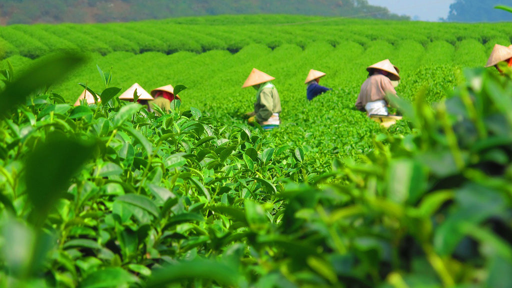 Photo of Japanese farmers harvesting green tea in a field