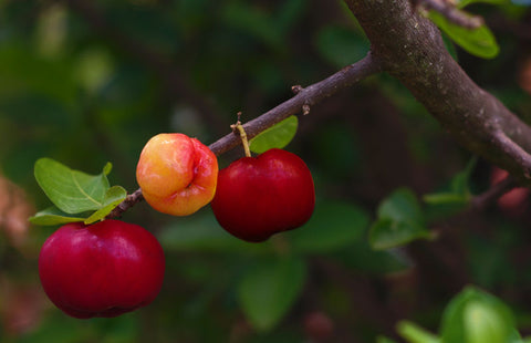 Acerola Cherry Tree
