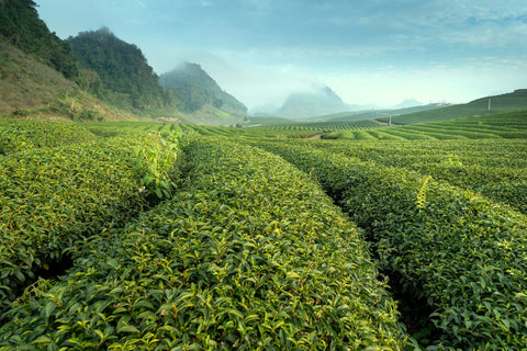 Photo of green tea fields with hills and misty haze in the background