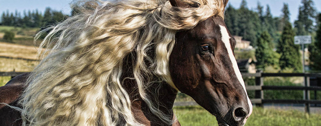 Black Forest Horse