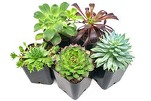 Load image into Gallery viewer, Succulent Plants (5 Pack), Fully Rooted