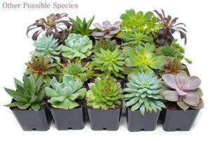 Succulent Plants (5 Pack), Fully Rooted