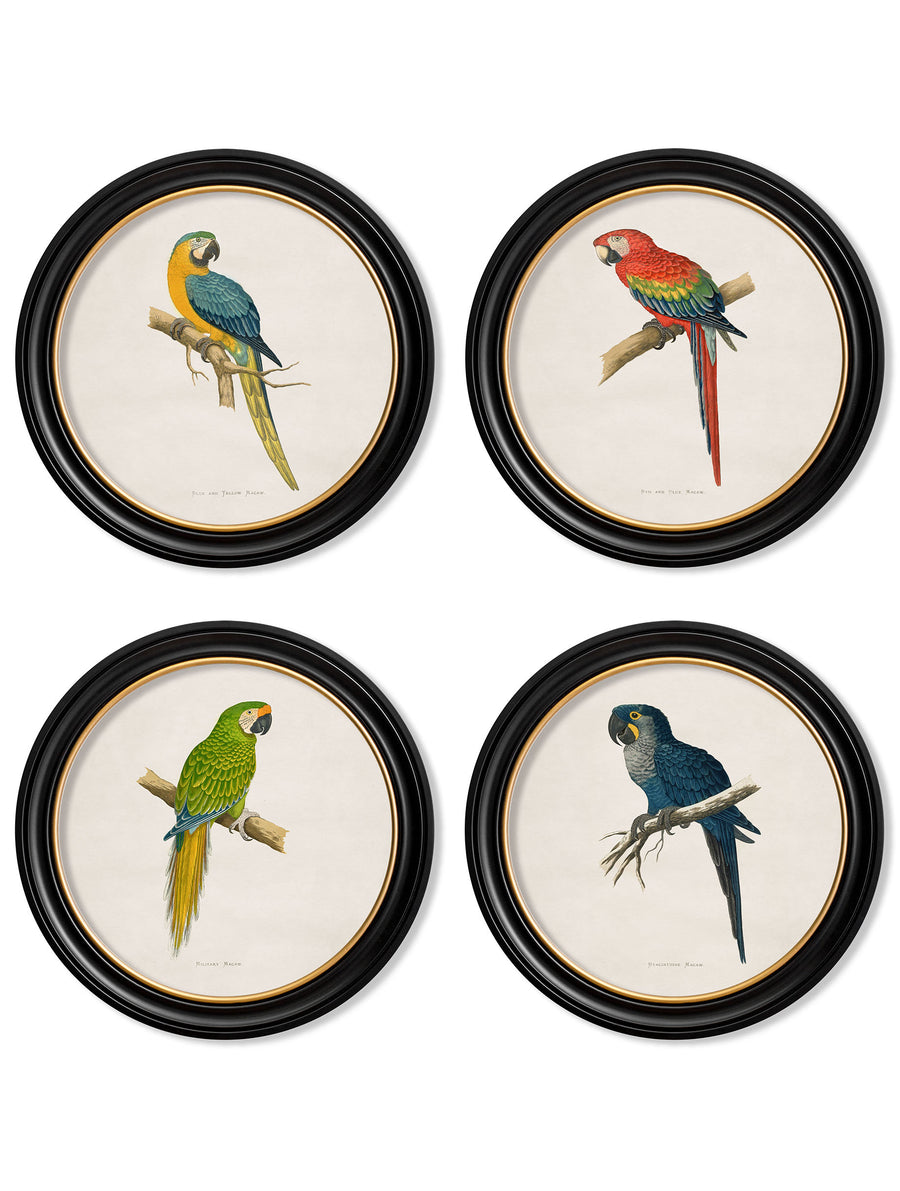 C.1884's Collection of Macaws in Round Frames