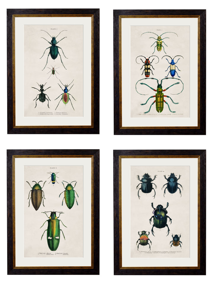 c.1836 Studies of Beetles