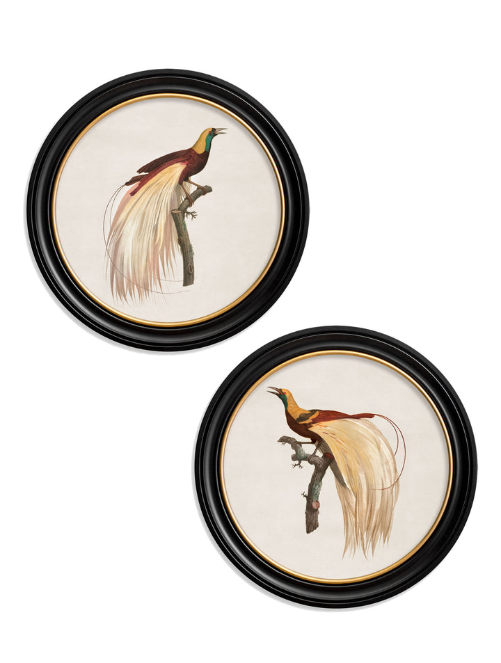 c.1809 Birds of Paradise - Round Frames