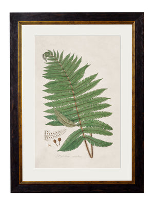 c.1831 Australian Fern - The Weird & Wonderful