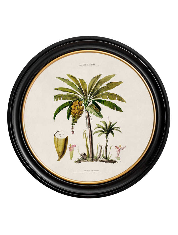 c.1843 Banana Palm - Round Frame - The Weird & Wonderful
