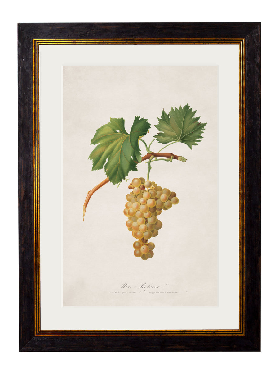 c.1817 Collection of Botanical Grapes