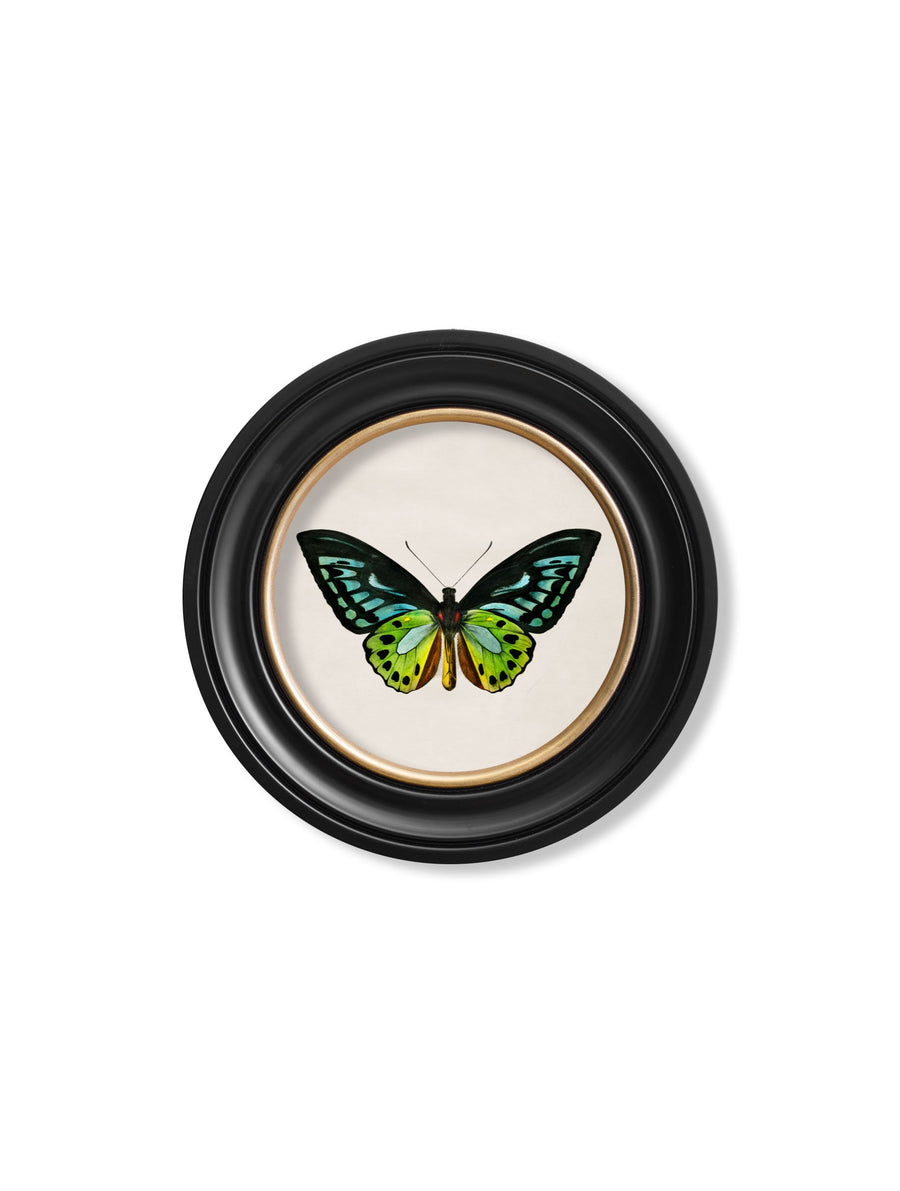 c.1836 Birdwing Butterfly - Round Frame - The Weird & Wonderful