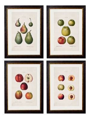 c.1819 Study of British Fruit