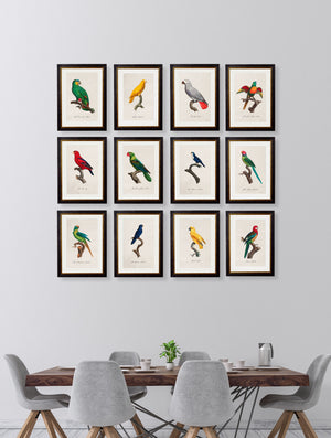 C.1800's Collection of Parrots