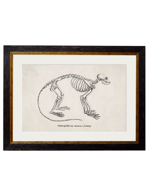 c.1870 Anatomical Skeletons