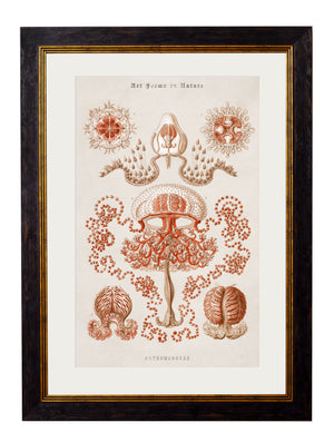 c.1904 Haeckel Marine Animals