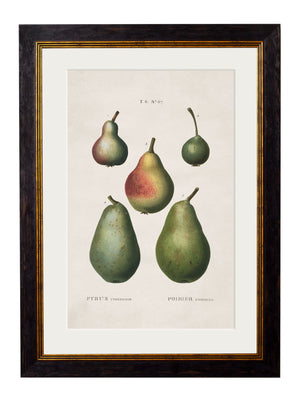 c.1819 Study of European Pears No.2 - The Weird & Wonderful