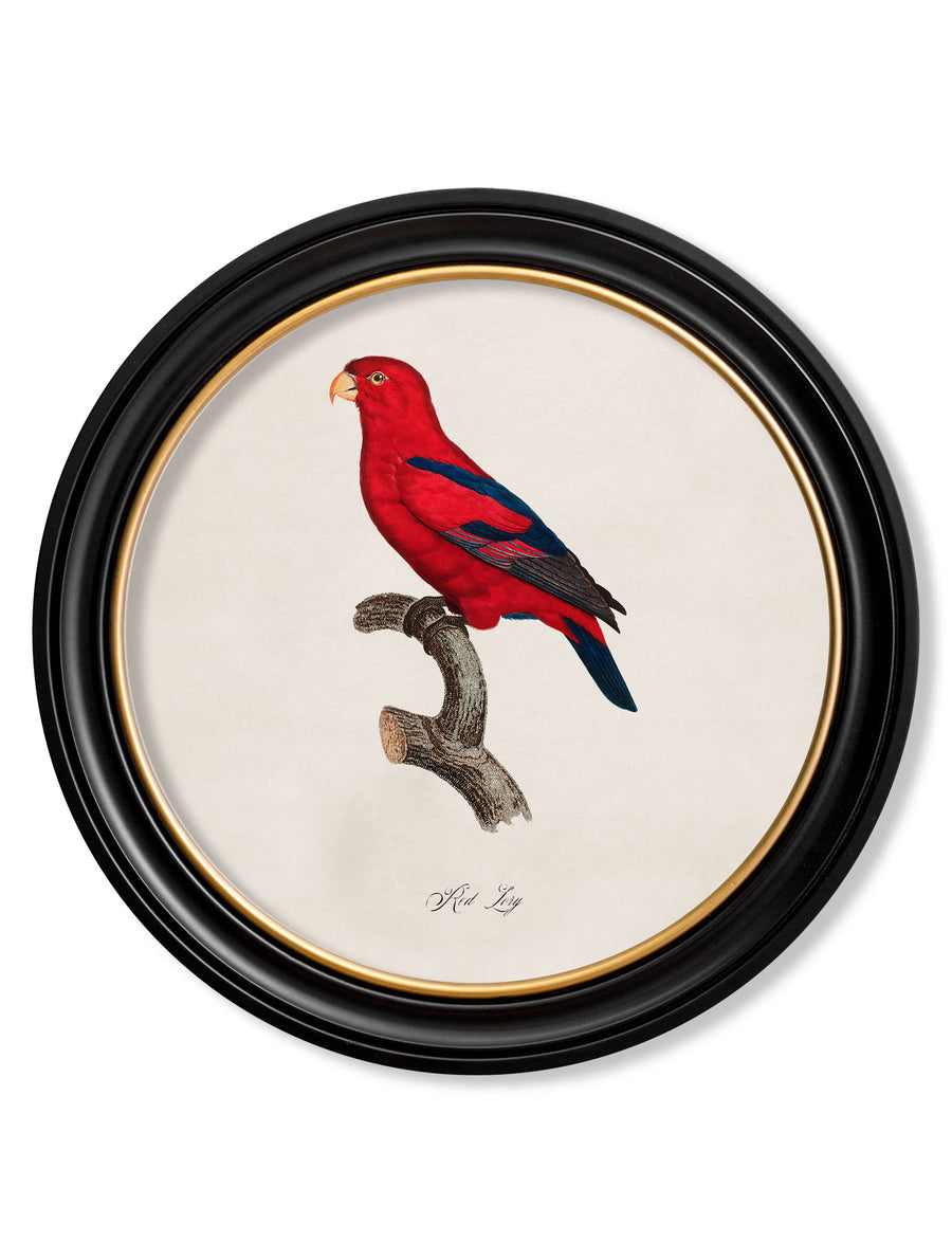 C.1800's Collection of Parrots in Round Frames