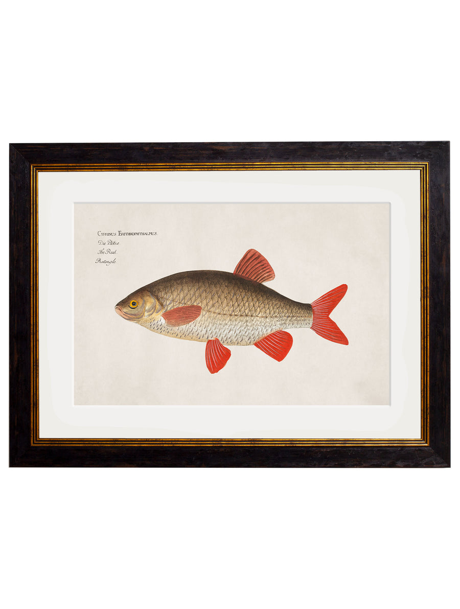 c.1785 Fresh Water Fish