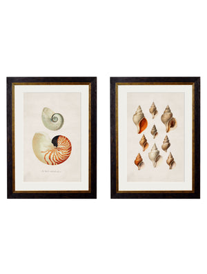 c.1848 Studies of Shells