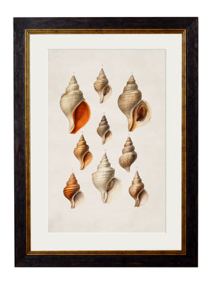 c.1848 Conch Shells - The Weird & Wonderful