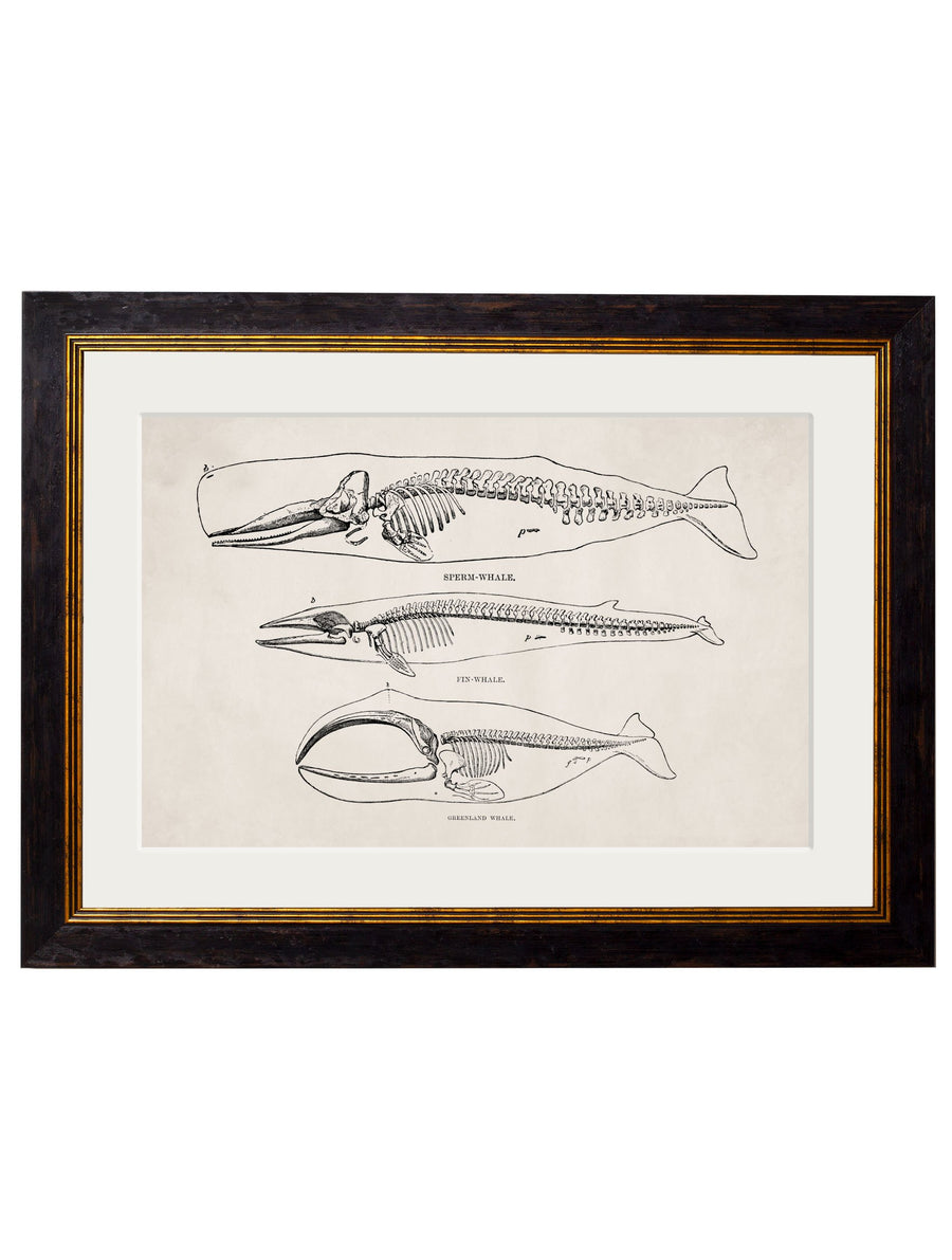 c.1870 Whale Skeletons Print - The Weird & Wonderful