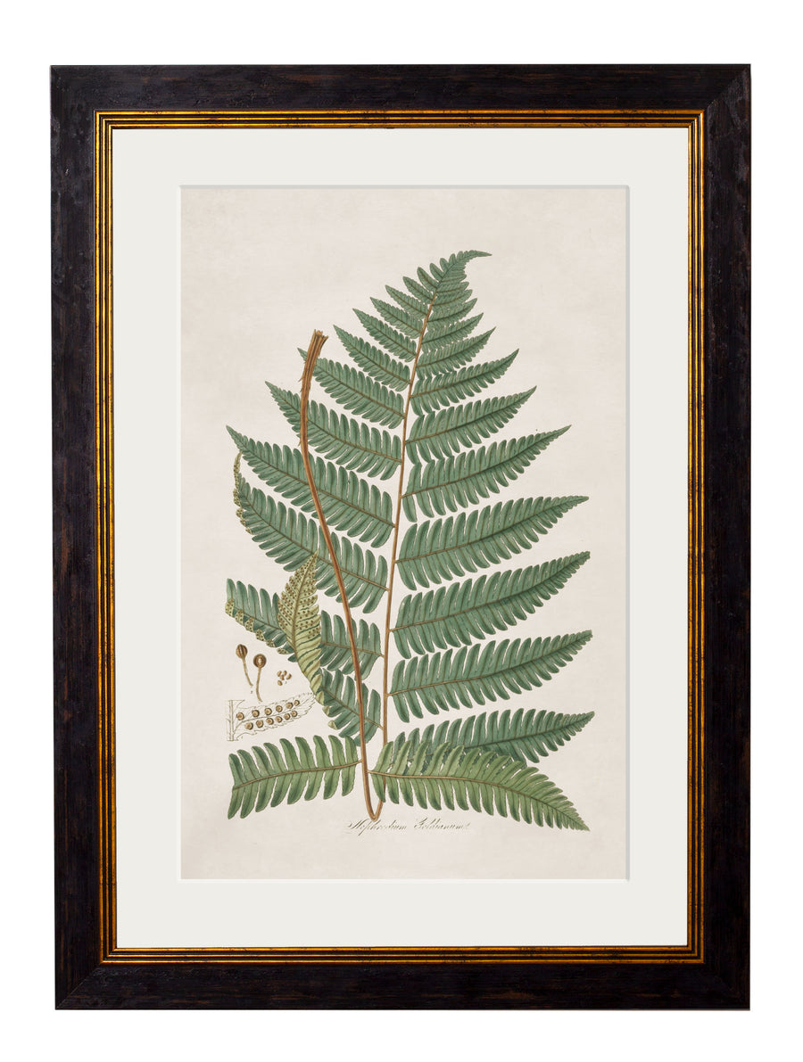 c.1831 Collection of Ferns
