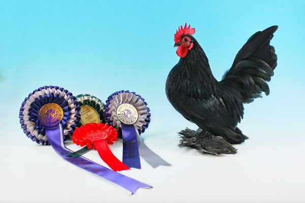 Booted Bantam Black- exhibition strain