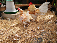 Buff millifleur Booted Bantam trio (X1 male, x2 females) 2020 hatched