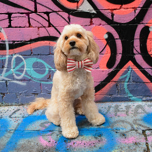 Cavoodle wearing the Lorne dog bowtie in spray painted alleyway