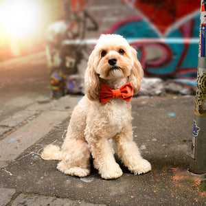 Cavoodle  wearing the Ocean Grove dog bowtie on the street