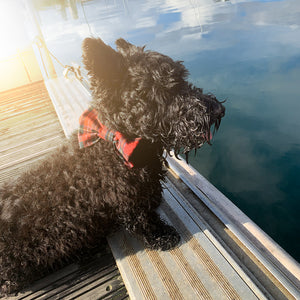Scottish Terrier wearing the Inverlock dog bowtie near the sea