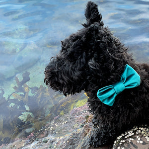 Scottish Terrier wearing the Torquay dog bowtie on beach rocks.