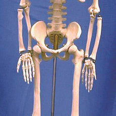 Human Skeleton Model, 85cm - HSKL85