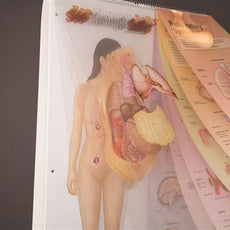 See-Through Sally™ Human Anatomy Display - SEETHS1