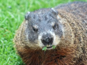 groundhog day, Groundhog = cute but potential bad news (small) bear