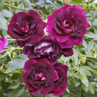 Rose Burgundy Iceberg - NurseryNearby
