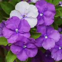 Brunfelsia Pauciflora (yesterday, today and tomorrow) - NurseryNearby