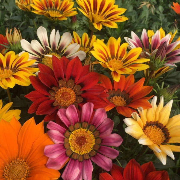 Gazania (Mixed) - NurseryNearby