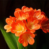 Clivia - (Buy 4 Orange Clivia's & Get 1 Free 30dm³ Bag of Clivia Compost) - NurseryNearby