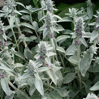 Stachys Lanata (Lamb's Ear)