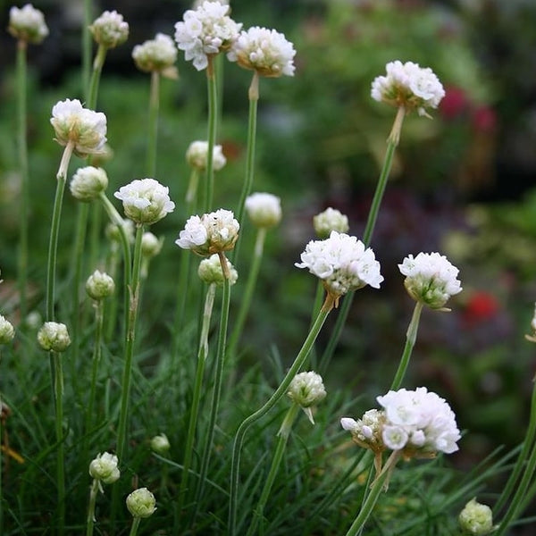 Armeria Morning Star White - NurseryNearby