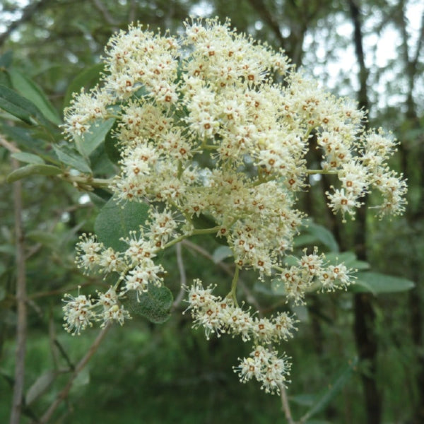 Buddleja Saligna (False Olive) - NurseryNearby
