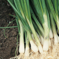 Spring Onion - NurseryNearby