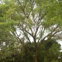 Vachellia Galpinii (Monkey Thorn) - NurseryNearby