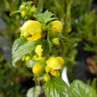 Lamium Galeobdolon (Yellow Archangel) - NurseryNearby