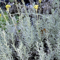 Helichrysum (Curry Bush) - NurseryNearby
