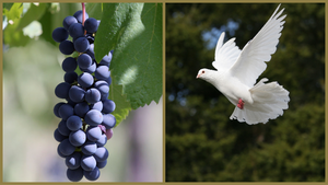 What do a grape variety and a dove foot have in common?