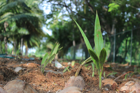 Coconut Shoot and Leaves